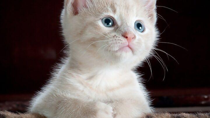 Come addestrare un Gatto alla lettiera: Una guida semplice
